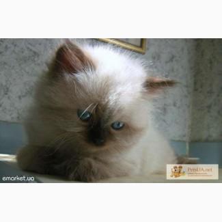 Невские маскарадные котята (балинезийские). Полтора месяца. Чистопородные, домашние