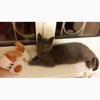 Продается благородный котенок породы Русская голубая