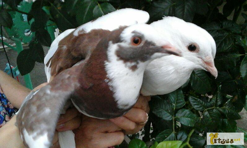 Фото 2/6. Продам голубей породы Кинг