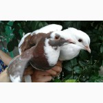 Продам голубей породы Кинг