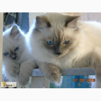 Продам клубного котенка невская маскарадная