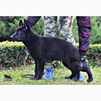 Немецкая овчарка черного окраса. Шикарная сука 2.5 мес
