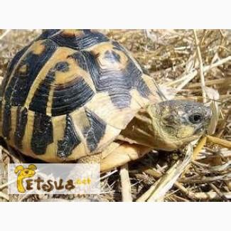 Продаётся Балканская черепаха