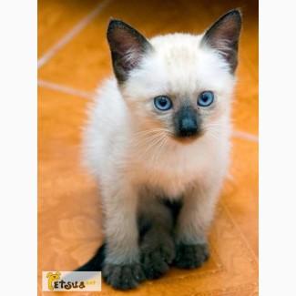 Отдам сиамских котят в хорошие руки!!! Срочно