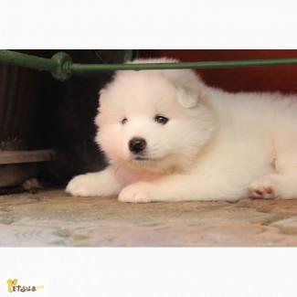Продам щенков породы Самоедская собака