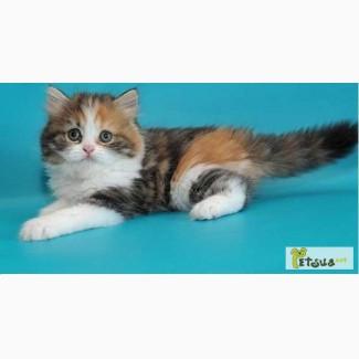 Сибирские котята (подарю)