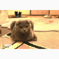 Шотландский вислоухий (Скоттиш Фолд) кот ВЯЗКА