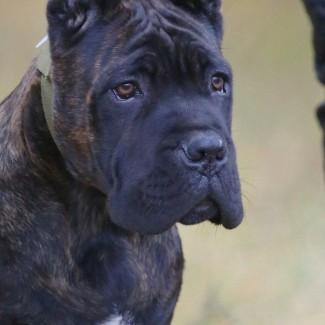 Шикарные щенки Кане Корсо ищут самых лучших родителей