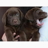 Шикарные щенки лабрадора шоколадного окраса
