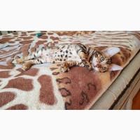 Кошки и котята бенгальской породы Житомир