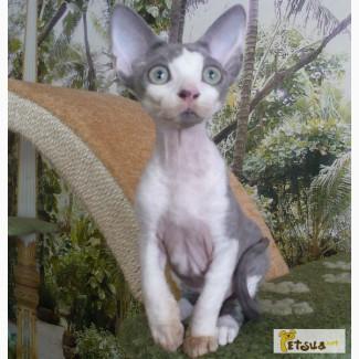Котята девон-рекс от чемпиона