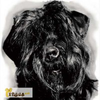 ������� ������ ������ (Black Russian Terrier ��� ������ �������)