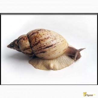 Куплю улитку вида: ахатина ретикулята