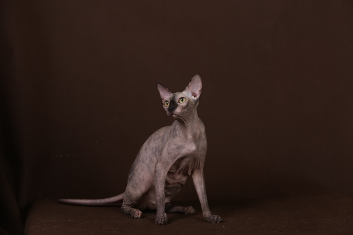 Фото 11. Уникальное животное-Эльф, бамбино, сфинкс канадский
