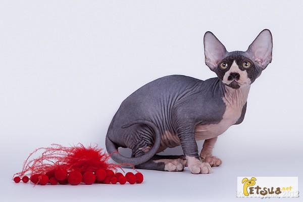 Фото 5. Уникальное животное-Эльф, бамбино, сфинкс канадский