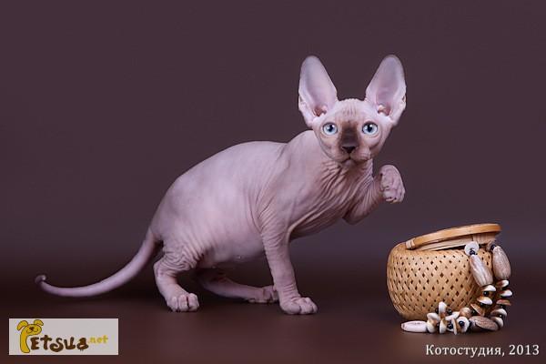Фото 7. Уникальное животное-Эльф, бамбино, сфинкс канадский