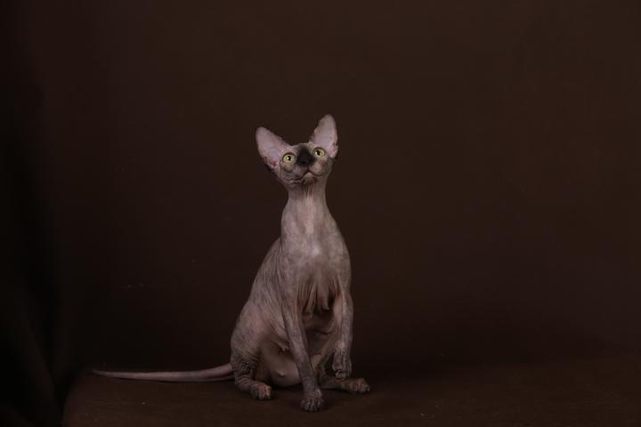 Фото 9. Уникальное животное-Эльф, бамбино, сфинкс канадский