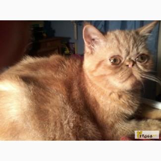 Продажа котят породы экзот плюшевый (экзотическая велюровая короткошерстная)