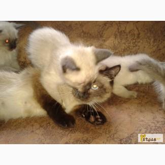 Тайские Сиамские породистые котята