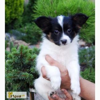 Продам очень красивых щенков папильона