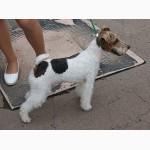 Продаются щенки жесткошерстного фокстерьера