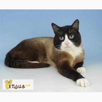 Продам красивого тайского кота