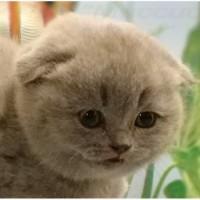 Котята вислоухие. Фото и плюш - настоящие. Паспорт