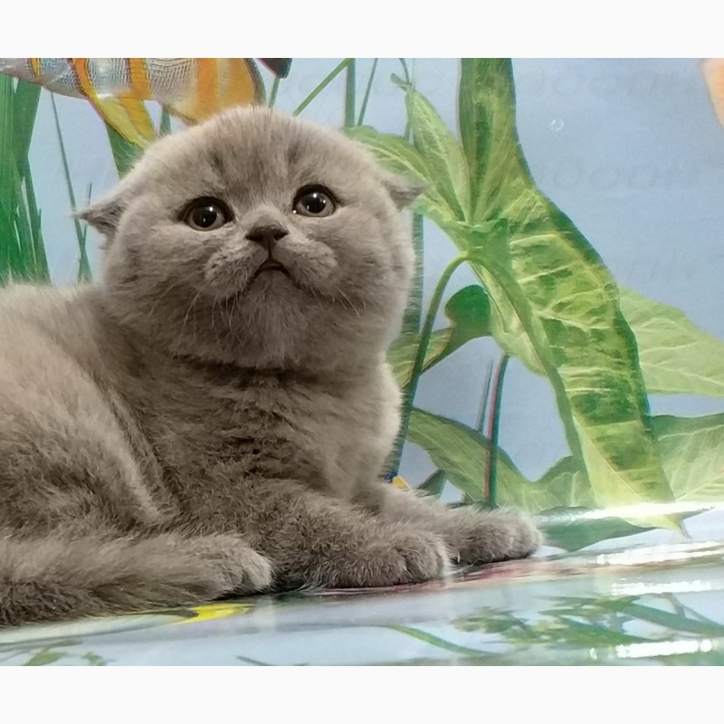 Фото 2/8. Котята вислоухие. Фото и плюш - настоящие
