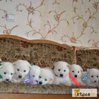 Эксклюзивные щенки белого окраса аляскинские маламуты