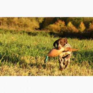 Высокопородный щенок курцхаара Afina vom Silber Herz (4 мес.), германские крови