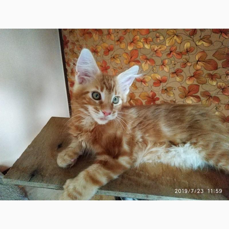 Фото 3/19. Срочно Продаю прекрасных котят породы Мейн-кун