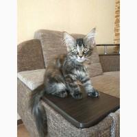 Срочно Продаю прекрасных котят породы Мейн-кун