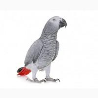 Возьмем в хорошие руки попугая Жако