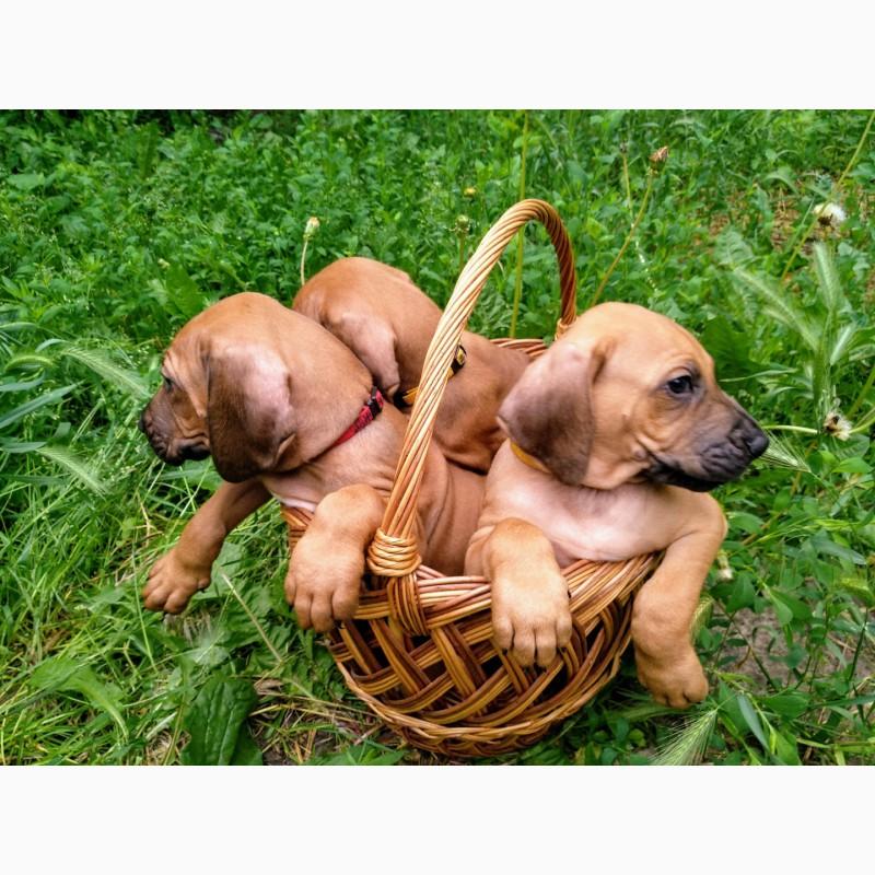 Фото 3/6. Продаются щенки родезийского риджбека