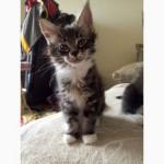 Продам котят мейн-куна с родословной от умненькой мамы