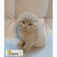 ��������� ����������� ������� ������� (�������) ������� ���� (scottish fold)
