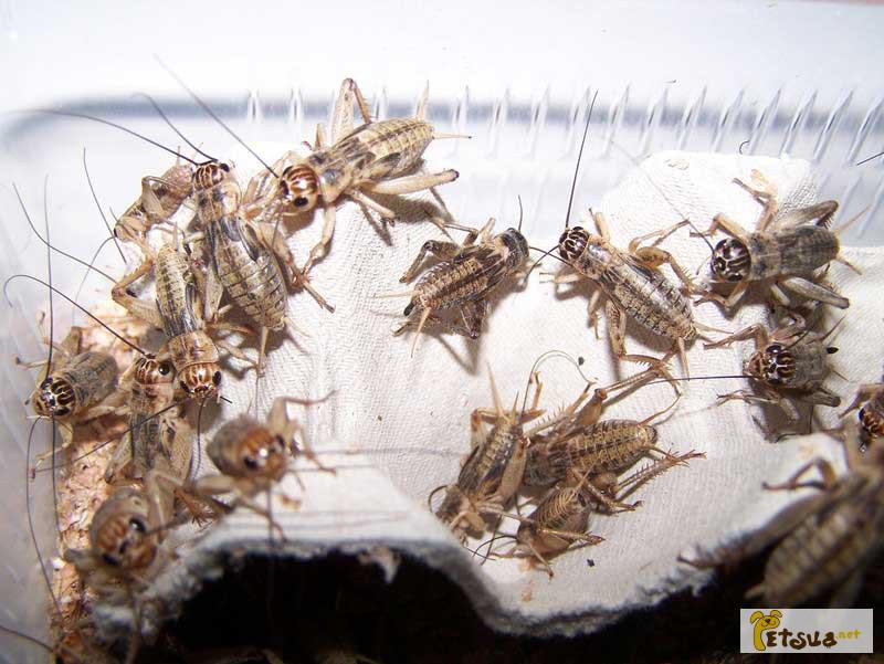 Фото 1/1. Кормовые насекомые - сверчки банановые, таракан мраморный, отправка по всей Украине