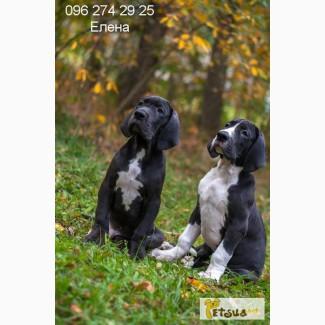 Продам элитного щенка немецкого дога
