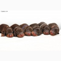 Шоколадные щенки мини-таксы