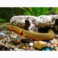 Чудо рыбка-змейка в вашем аквариуме! Каламоихт