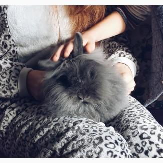 Продам декоративный ангорского кролика за 100 грн
