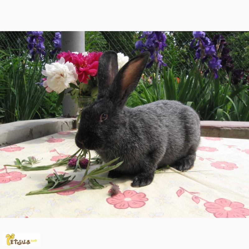 Фото 3/5. Продаю кроликов породы серебристый на племя (Полтавское серебро, Европ. серебро, БСС)