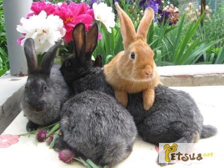 Фото 1/5. Продаю кроликов породы серебристый на племя (Полтавское серебро, Европ. серебро, БСС)