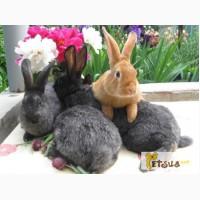 Продаю кроликов породы серебристый на племя (Полтавское серебро, Европ. серебро, БСС)