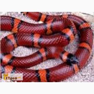 Ручные змеи – неядовитые живородящие, разные виды