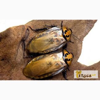 Шеститочечные тараканы (Eublaberus distanti)