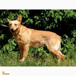 Фокстер, четырехлетний пес среднего размера