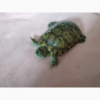 Отдам в добрые руки Красноухую черепаху