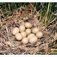 Инкубационные яйца охотничьих и декоративных пород фазанов