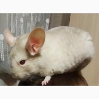 Шиншила Самец 8 месяцев Бежевый